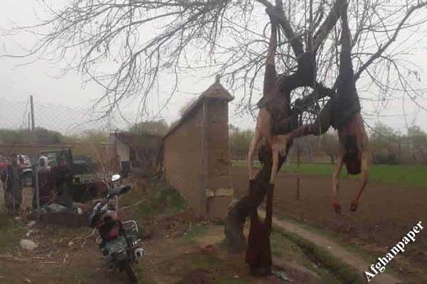 باشندگان کاپیسا طالبان از درخت آویزان
